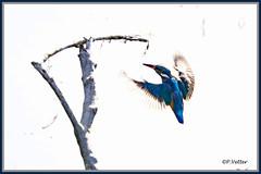 Martin-Pêcheur vol 190917-01-RP (paul.vetter) Tags: oiseau ornithologie ornithology faune animal bird martinpêcheur alcedoatthis eisvogel kingfisher