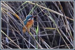 Martin-Pêcheur 190917-03-P (paul.vetter) Tags: oiseau ornithologie ornithology faune animal bird martinpêcheur alcedoatthis eisvogel kingfisher