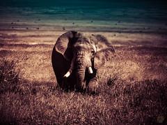 NGORONGORO ELIE (eliewolfphotography) Tags: elephant elephants animals africa african tanzania nature naturelovers nikon naturephotography natgeo naturephotographer ngorongoro natgeowild ngorongorcrater naturelover wildlife wildlifephotographer wildlifephotography