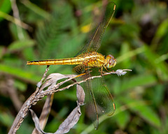 A female Common Scarlet dragonfly (js19pv) Tags: dragonfly odonata crocothemisservilia