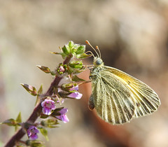 Dainty Sulphur - Nathalis iole (annette.allor) Tags: daintysulphur nathalisiole butterfly