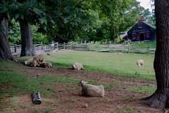 Sheep at the Fenno Farmstead (lwgeiger) Tags: massachusetts osv oldsturbridgevillage places sturbridge sheep