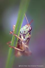 Hold On! (Gary Grossman) Tags: grasshopper lavender flower macro nature northwest summer closeup garygrossman garygrossmanphotography macrophotography naturephotography pacificnorthwest