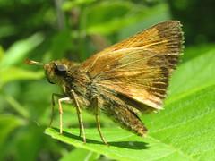 Hobomok skipper (Poanes hobomok), male (tigerbeatlefreak) Tags: hobomok skipper poanes insect butterfly lepidoptera hesperiidae nebraska