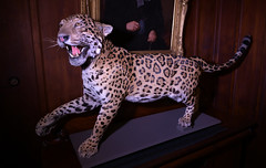 The Art of Death (Peter Jennings 38 Million+ views) Tags: the art death exhibition highwic taxidermy gothic visions cheetah acinonyx jubatus 40 gillies ave epsom metropolitan club peter jennings nz auckland house presented by heritage new zealand hendricks gin