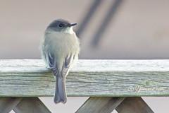 Juvenile Eastern Phoebe/Moucherolle phébi (Sayornis phoebe) Back (Jeannot7) Tags: juvenile easternphoebe moucherollephébi sayornisphoebe bird backyard birdwatcher cobourg ontario