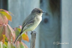 Juvenile Eastern Phoebe/Moucherolle phébi (Sayornis phoebe) (Jeannot7) Tags: juvenile easternphoebe moucherollephébi sayornisphoebe bird backyard birdwatcher cobourg ontario