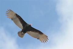 From below (*Aña*) Tags: vulture geier bird flight flug bluesky blauer himmel peru
