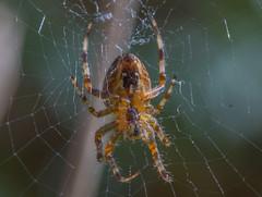 spider (davidhamilton23) Tags: spider macro bug sony a77ii sigma 105mm scotland