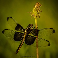 Widow Skimmer. (kmac1960) Tags: dragonfly insects flower naturephotographer nature macro