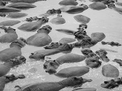 THE DRY SEASON (eliewolfphotography) Tags: hippopotamus hippo blackandwhite animals africa african safari serengeti serengetinationalpark safariphotography tanzania travel conservation conservationphotography