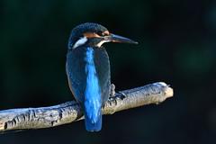 martin-pêcheur / Alcedo atthis 19D_9332 (Bernard Fabbro) Tags: alcedo atthis martinpêcheur eisvogel kingfisher oiseau bird