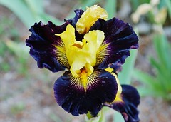 Tall Bearded Iris called Island Hop, The Cliffrose Lodge and Gardens (Susan Roehl) Tags: nearzionnationalpark southwesternutah springdale usa iris manycolorcombinations flowers garden plant sueroehl panasonic lumixdmcgh4 35x100mmlens handheld coth5 ngc