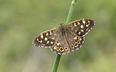 Speckled Wood (Pararge aegeria). (Bob Eade) Tags: speckledwood parargeaegeria butterfly brown bokeh lepidoptera southdownsnationalpark sussex seaford eastsussex