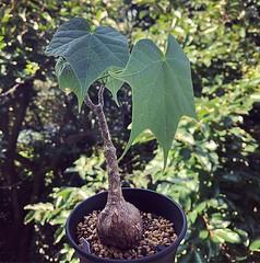 今年から育ててるこれ、葉っぱも幹もかわいくて好き (nabeya) Tags: instagram ifttt