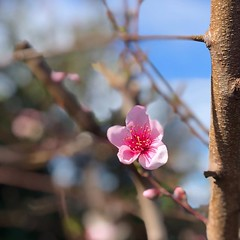Spring is here #nofilter #sooc #iphonography #pink #blossom #nectarine #melbourne (wilsonszFL) Tags: ifttt instagram cubebot 365project