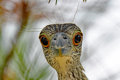 Got any mousse? (Jays and Jets) Tags: bird birds animal animals heron yellowcrownednightheron greatfloridabirdingtrail florida fortpickens gulfislandsnationalseashore pensacolabeach birding