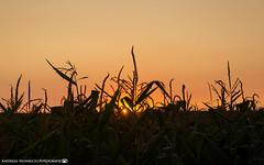 Sunset behind the maize field. (andreasheinrich) Tags: nature field corn maize summer evening sunset august warm colorful germany badenwürttemberg neckarsulm dahenfeld deutschland natur feld getreide mais sommer abend sonnenuntergang farbenfroh nikond7000