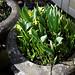 Narcissus 'Tête á Tête' at Nuthurst, West Sussex, England 02