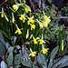 Narcissus 'Tête á Tête' at Nuthurst, West Sussex, England 01