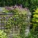 'Clematis viticella' Étoile Violette trellis at Nuthurst, West Sussex, England