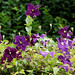 'Clematis viticella' Étoile Violette in Nuthurst, West Sussex, England