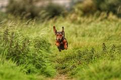 Sydney Flying (Lunarr Photographyy) Tags: sausage sausagedog daschund german england countryside derbyshire dog canine petphotography pets derby blackandtan animals love puppylove whatthefluff doglovers