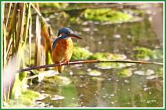 Martin-Pêcheur 190917-05-P (paul.vetter) Tags: oiseau ornithologie ornithology faune animal bird martinpêcheur alcedoatthis eisvogel kingfisher