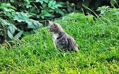 Cat in the grass (M!FODY) Tags: россия серпухов московскаяобласть russia moscowregion serpukhov streets city church photo photoart views flower nature green