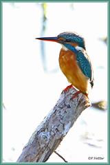 Martin-Pêcheur 190917-06-RVP (paul.vetter) Tags: oiseau ornithologie ornithology faune animal bird martinpêcheur alcedoatthis eisvogel kingfisher