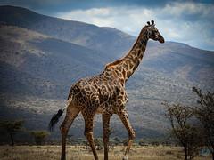 ON THE ROAD TO NGORONGORO (eliewolfphotography) Tags: giraffe giraffes mountains animals africa african tanzania nature naturelovers nikon naturephotography natgeo naturephotographer ngorongoro natgeowild ngorongorcrater travel conservation conservationphotography endangered