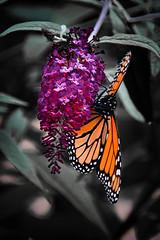 Backyard beauty (KWPashuk (Thanks for >3M views)) Tags: nikon d7200 tamron tamron18400mm lightroom luminar luminar2018 luminar3 luminar31 kwpashuk kevinpashuk butterfly bush flower garden insect outdoors backyard summer monarch oakville ontario canada