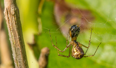 spider eating (davidhamilton23) Tags: spider macro bug sony a77ii sigma 105mm scotland
