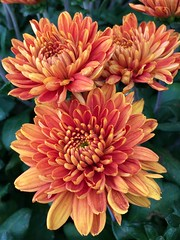 Colorful and beautiful Chrysanthemums (wjaachau) Tags: abstract nature fallseason landscape garden autumndecorations autumngardens autumnflowers autumncolors flowers chrysanthemums