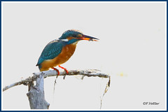 Martin-Pêcheur 190917-01-RP (paul.vetter) Tags: oiseau ornithologie ornithology faune animal bird martinpêcheur alcedoatthis eisvogel kingfisher
