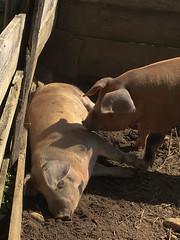 Pig Sty at the Freeman Farm (lwgeiger) Tags: massachusetts osv oldsturbridgevillage places sturbridge pigs unitedstatesofamerica