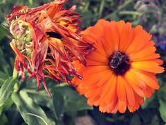 HTT (Mr. Happy Face - Peace :)) Tags: textures flower floral macro tuesdays theme orangecrush closeup gardening september canada fall autumn bee art2019 honey petals