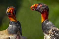Keep Calm and Carrion (Eric Gofreed) Tags: costarica kingvulture lagunadellagarto vulture
