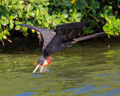 Male Magnificent Frigatebird Inflight Drinking (dbadair) Tags: outdoor seaside shore sky water nature wildlife 7dm2 7d ii ef100400mm ocean canon florida bird flight bif