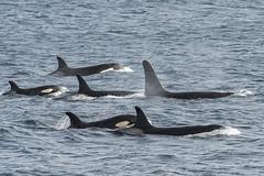 Orcas, Shetland, September 2019 (john moncrieff) Tags: orca orcas killer whales shetland nikon