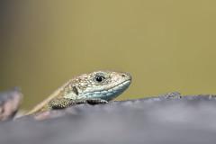 Common lizard (Mike Mckenzie8) Tags: zootoca vivipara wild wildlife reptile