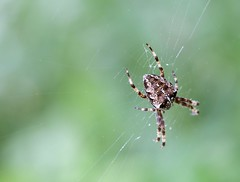 Spider (Karen_Chappell) Tags: spider green brown nature insect arachnid macro bokeh web spiderweb canonef100mmf28usmmacro animal stjohns newfoundland nfld grandconcourse canada atlanticcanada avalonpeninsula eastcoast outdoors orbweaver
