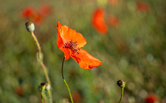 Poppy (Mandy Willard) Tags: 365 1509 poppies