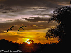 cranes in the sunset (barragan1941) Tags: sunset sun forest birds cranes grullas contra backlighting clouds aves