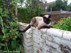 September 7th, 2019 It's that cat again (karenblakeman) Tags: cavershamgarden caversham uk cat wall oriental september 2019 2019pad reading berkshire
