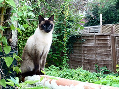 Trespasser - again! (karenblakeman) Tags: cavershamgarden caversham uk cat oriental wall 2019 september reading berkshire