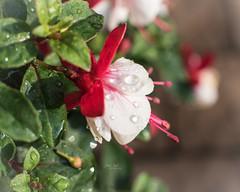 After the rain (L E Dye) Tags: 20mmextensiontube raindrops 2019 alberta canada d750 floral fuschia ledye nikon fall flower