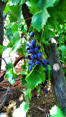 grape (tetuani1399) Tags: grape light colors food fruit vineyard leaves 2019 macro nature vitamins macroworld uva luz colores comida fruta viñedo hojas naturaleza vitaminas الفاكهة fruits ligero grain de raisin lumière couleurs aliments vignoble feuilles vitamines عنب ضوء الألوان طعام فاكهة حقل اوراق اشجار دقيق طبيعة الفيتامينات flickr