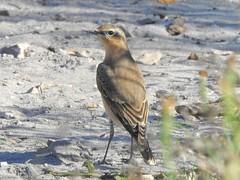 Wheatear (Oenanthe oenanthe) (Nick Dobbs) Tags: wheatear oenanthe bird heath heathland dorset migrant
