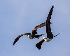 Pair of Magnificent Frigatebird Inflight at Play (dbadair) Tags: outdoor seaside shore sky water nature wildlife 7dm2 7d ii ef100400mm ocean canon florida bird flight bif